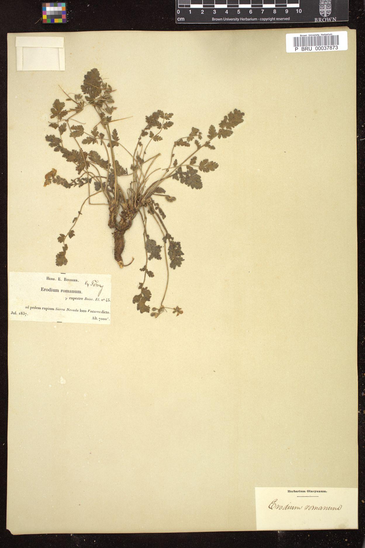 Erodium acaule image