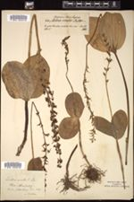 Listera ovata image