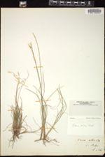 Image of Carex alba
