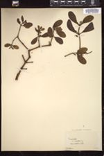 Image of Dendrophthora leucocarpa