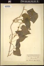 Dioscorea communis image