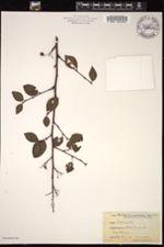 Image of Cotoneaster bacillaris