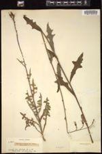 Lactuca elongata image
