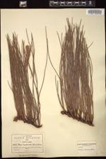 Pinus lumholtzii image