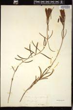 Gentiana angustifolia image