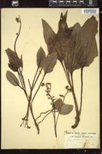 Image of Cynoglossum laeve