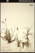 Carex praecox image