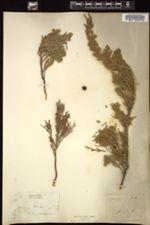 Juniperus sabina image