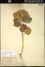 Image of Ageratina loeseneri