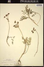 Image of Cogswellia circumdata
