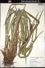 Image of Carex amplifolia