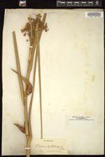 Image of Cladium leptostachyum