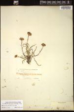 Image of Haplopappus apargioides
