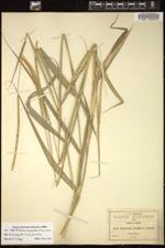 Image of Panicum unispicatum