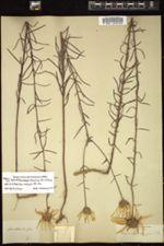 Image of Helianthella tenuifolia