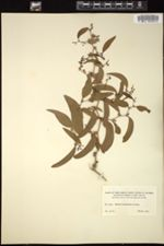 Smilax purhampuy image