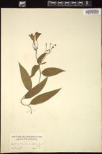 Bomarea acutifolia image