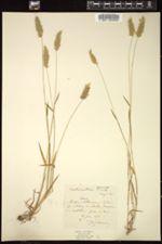 Anthoxanthum aristatum image