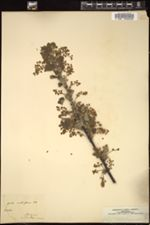 Image of Ribes multiflorum