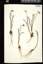Galanthus nivalis image