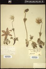 Anemone pulsatilla image