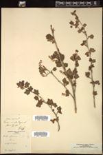 Ribes alpinum image