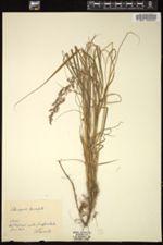 Image of Calamagrostis lanceolata