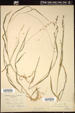 Melica uniflora image