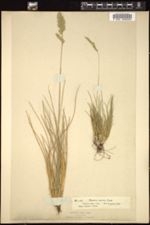 Festuca arvernensis image