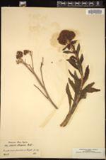 Image of Sedum fabaria