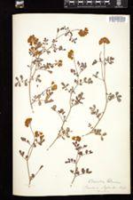 Coronilla glauca image