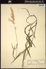 Image of Melica altissima