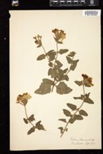 Image of Verbena chamaedrifolia
