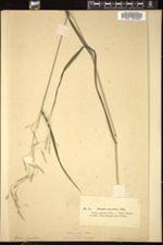 Image of Bromus giganteus