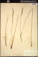 Festuca heterophylla image