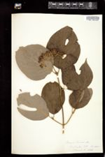 Cornus circinata image