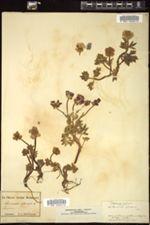 Ranunculus glacialis image