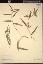 Image of Commelina africana