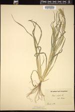 Chloris radiata image