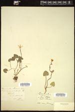 Ranunculus ficaria image