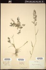 Eragrostis minor image