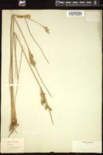 Juncus maritimus image
