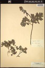 Corydalis bulbosa image