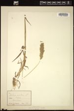 Holcus mollis image