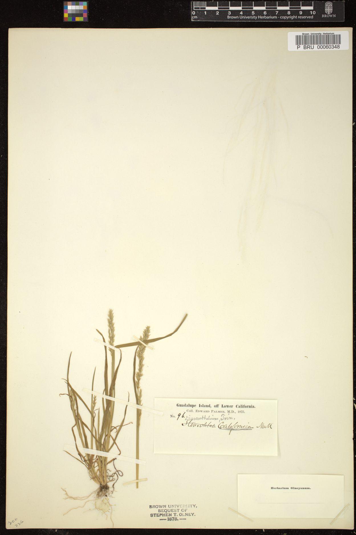 Dissanthelium californicum image