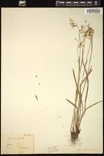 Luzula forsteri image