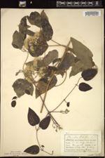 Clematis vitalba image