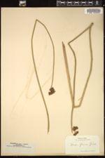 Schoenoplectus lacustris image