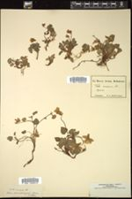 Viola arenaria image