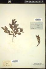 Image of Salix arenaria